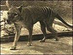 thylacinesmall4.jpg